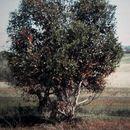 Image of bushy yate