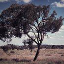 Image of <i>Acacia georginae</i> F. M. Bailey
