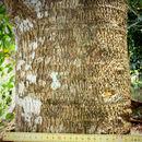 Image of Quinine tree