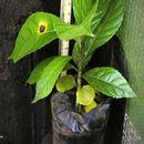 Image of <i>Rinorea ilicifolia</i> (Welw. ex Oliv.) Kuntze