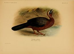 Image of white-crested guan