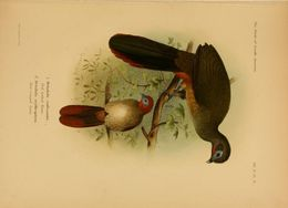 Image of Rufous-vented Chachalaca