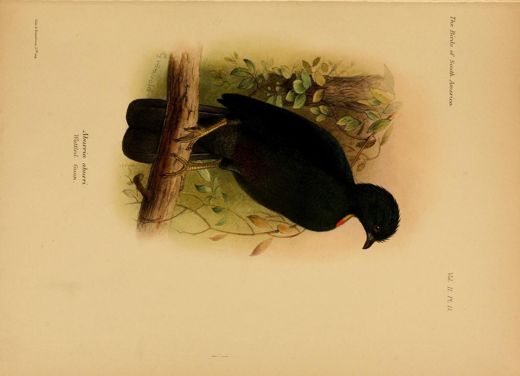 Image of Wattled Guan
