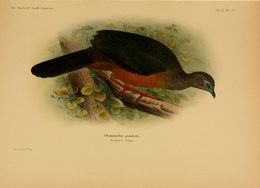 Image of Sickle-winged Guan