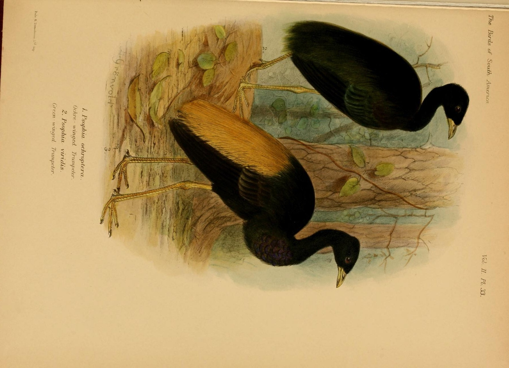 Image of Dark-winged Trumpeter