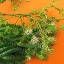 Image of <i>Albizia polycephala</i> (Benth.) Killip