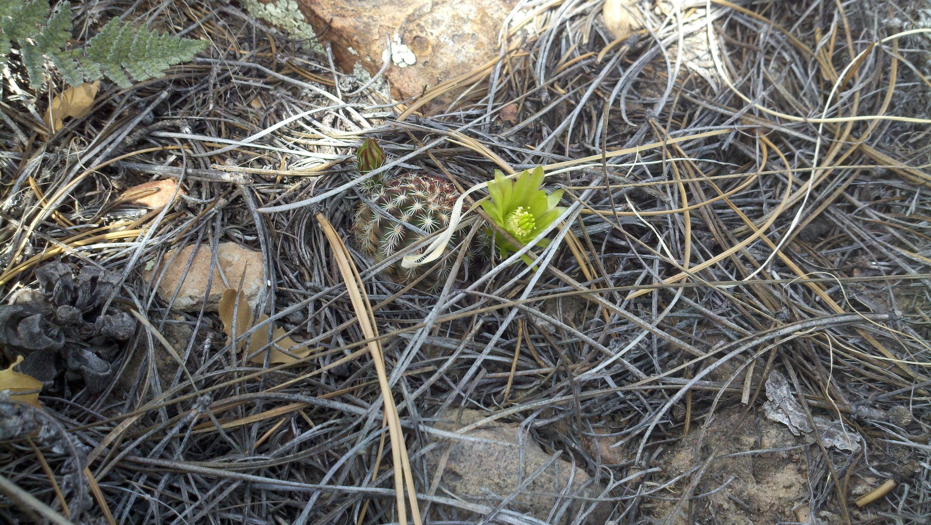 Image of Green Pitaya