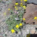 Image of Organ Mountain larkspur