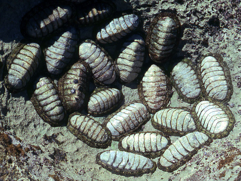 Image of West Indian green chiton