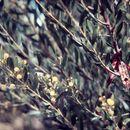 Image of <i>Acacia dictyophleba</i> F. Muell.