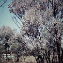 Image of <i>Acacia harpophylla</i> F. Muell. ex Benth.