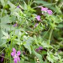 Image of <i>Geranium palustre</i> L.