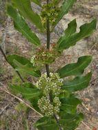 Image of tuba milkweed