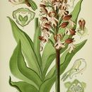 Image of Lady Orchid