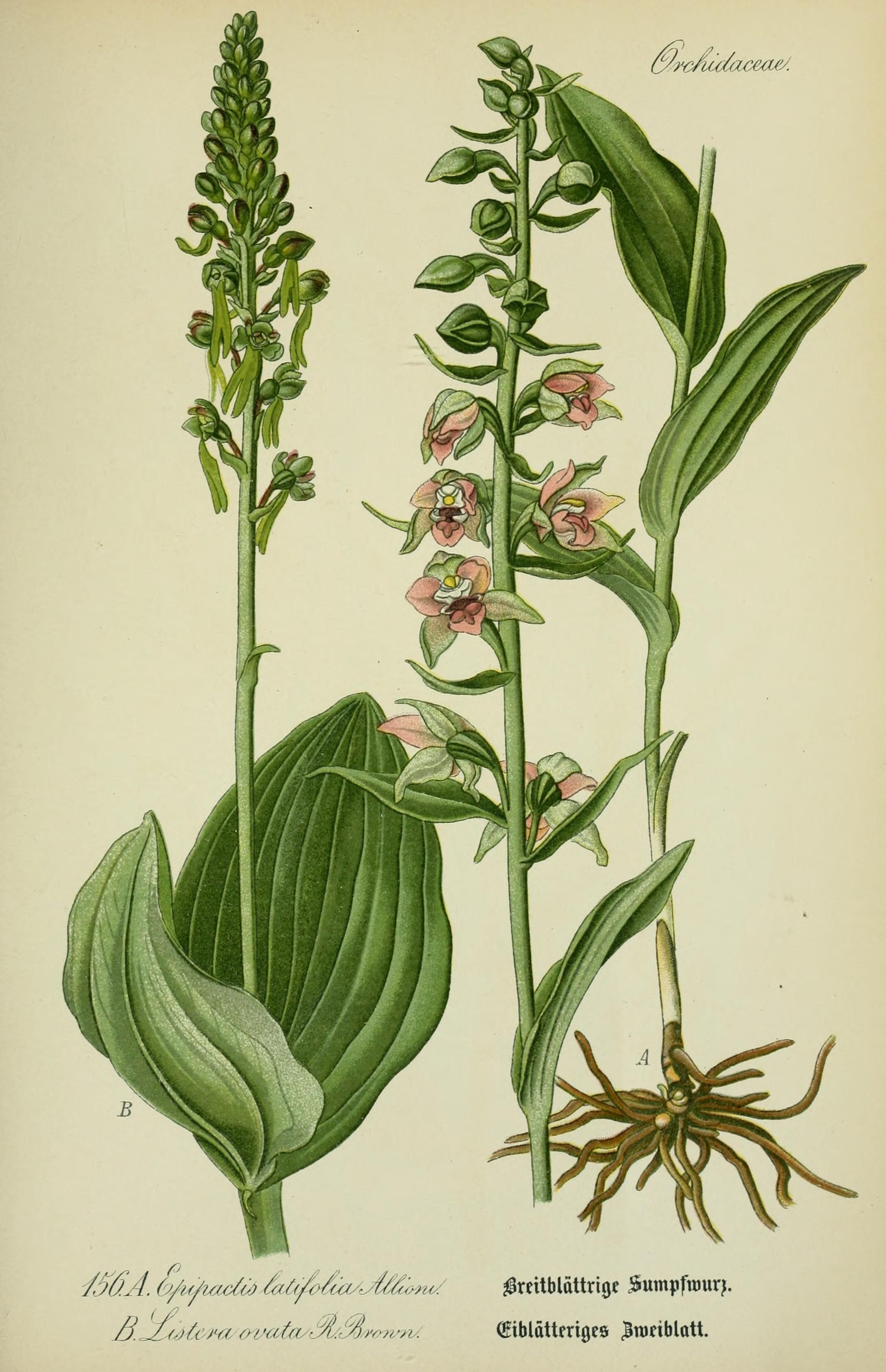 Image of <i>Epipactis helleborine</i> (L.) Crantz