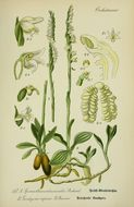 Image of Autumn Lady's-tresses