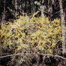 Image of <i>Acacia triptera</i> Benth.