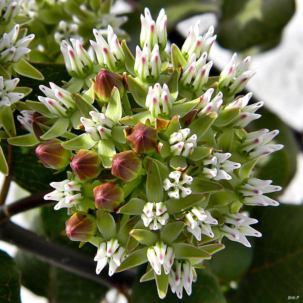 Image of Curtiss' milkweed