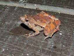 Image of Berdmore's Chorus Frog