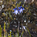 Image of Veined sun orchid