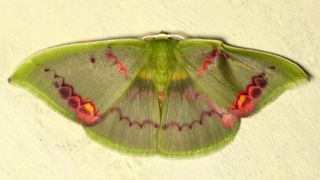 Image of <i>Rhodochlora exquisita</i> Warren 1905