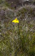 Image of Highland golden moths