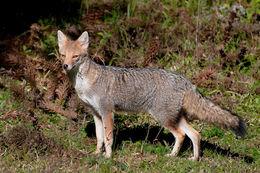 Image of Azara's Fox