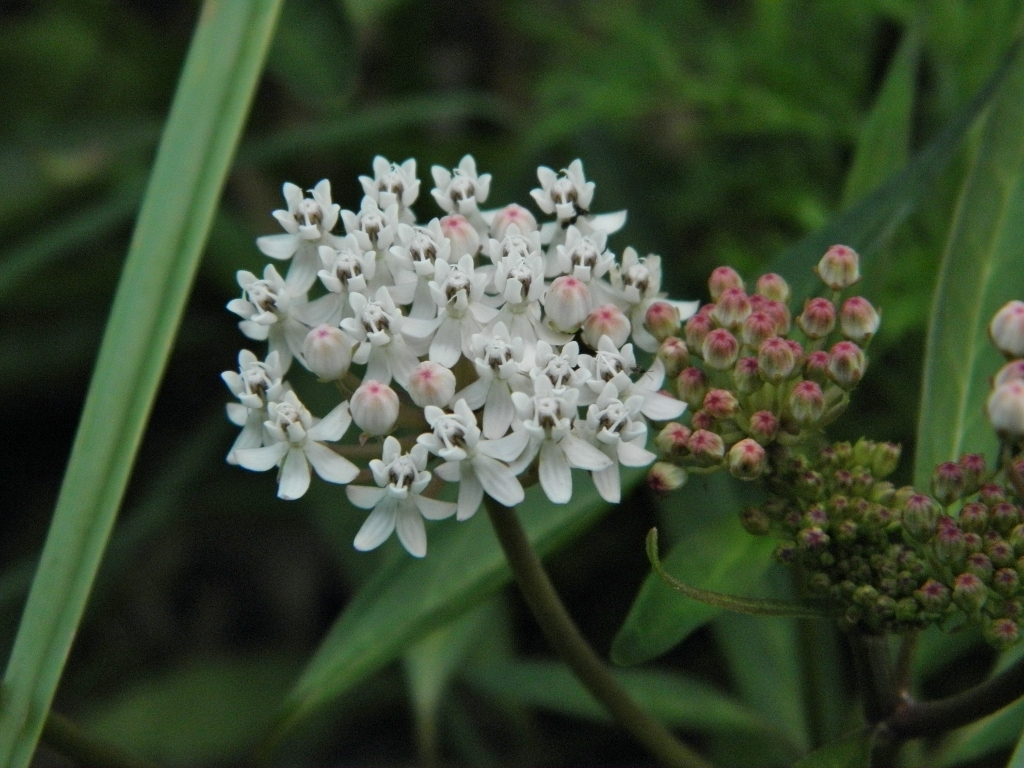 Image of aquatic milkweed