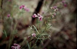 Image of <i>Mirbelia speciosa</i> ssp. <i>ringrosei</i> (Bailey) Pedley
