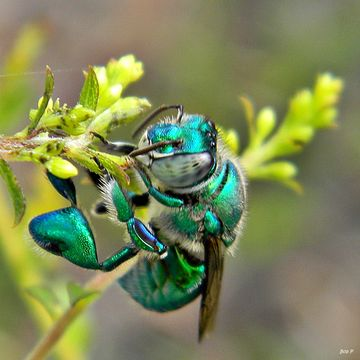 Image of Dilemma Orchid Bee