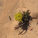 Image of Canyonlands biscuitroot