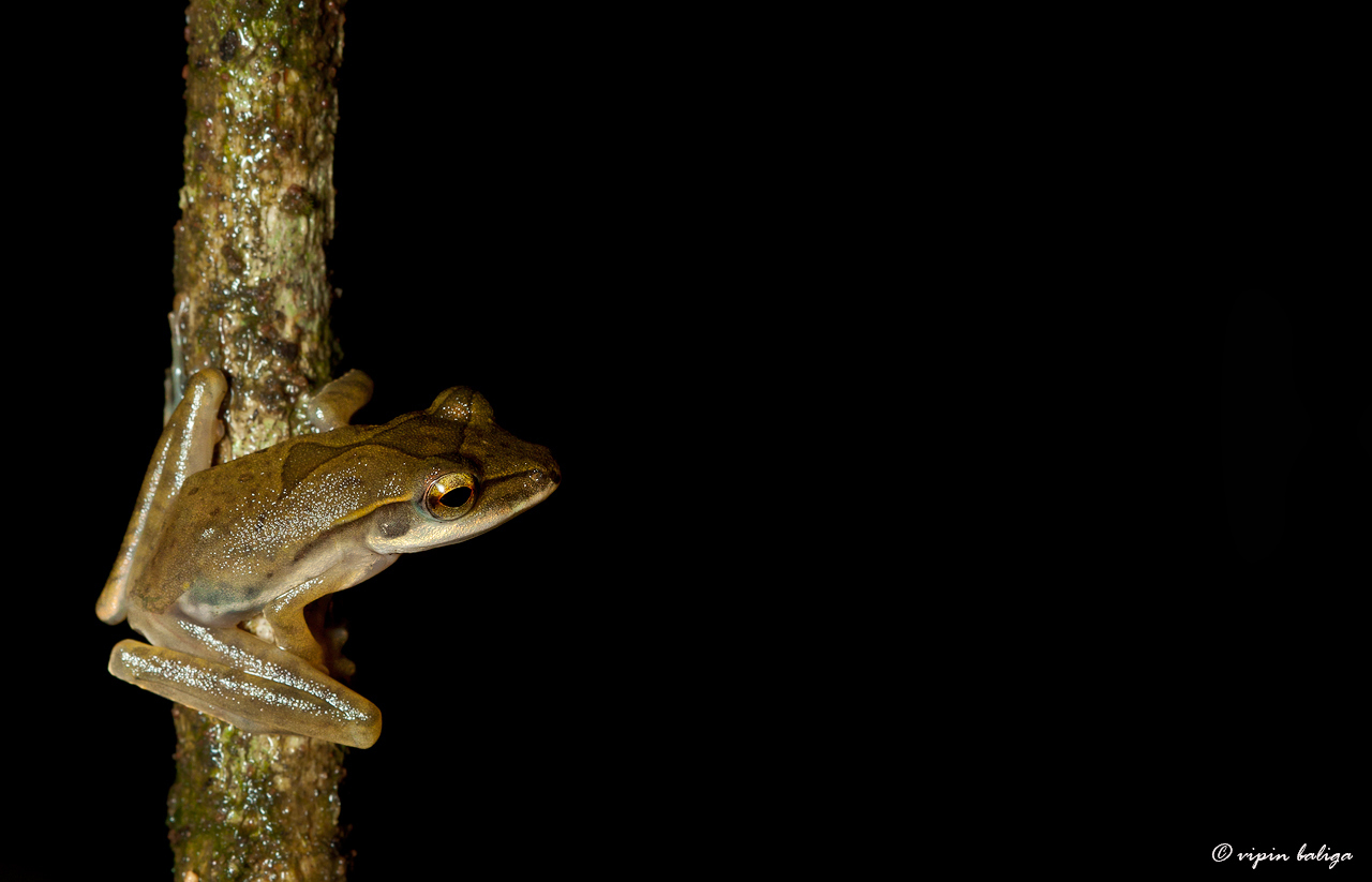 Image of <i>Polypedates occidentalis</i> Das & Dutta 2006