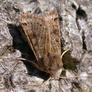 Image of lunar underwing