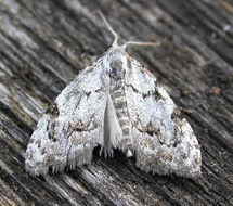 Image of Least Black Arches