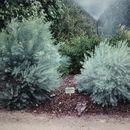 Image of <i>Eucalyptus formanii</i> C. A. Gardner