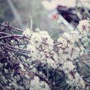Image of <i>Eucalyptus cunninghamii</i> Sweet