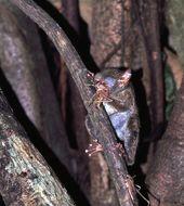 Image of spectral tarsier