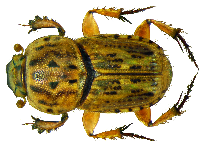Image of <i>Euoniticellus pallens</i> (Olivier 1789)