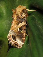 Image of Yellow-striped Armyworm Moth