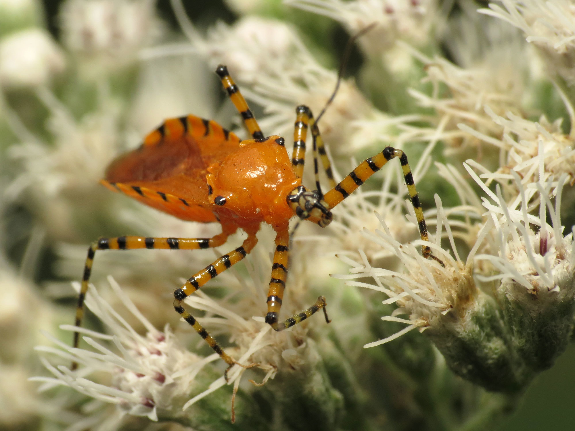 Image of Orange Assassin Bug