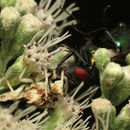 Image of <i><i>Phymata</i></i> (Phymata) <i>americana</i> Melin 1930