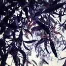 Image of <i>Dendrophthoe glabrescens</i> (Blakely) Barlow