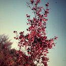Image of <i>Dodonaea filifolia</i> Hook.