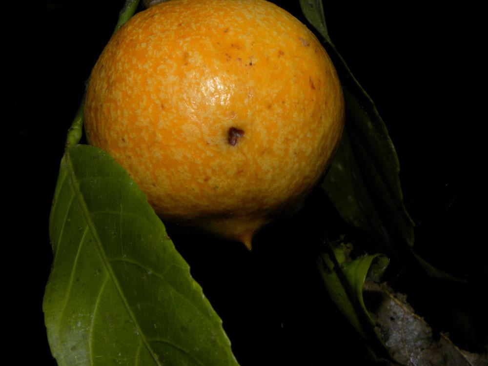Image of <i>Gloeospermum diversipetalum</i> L. O. Williams