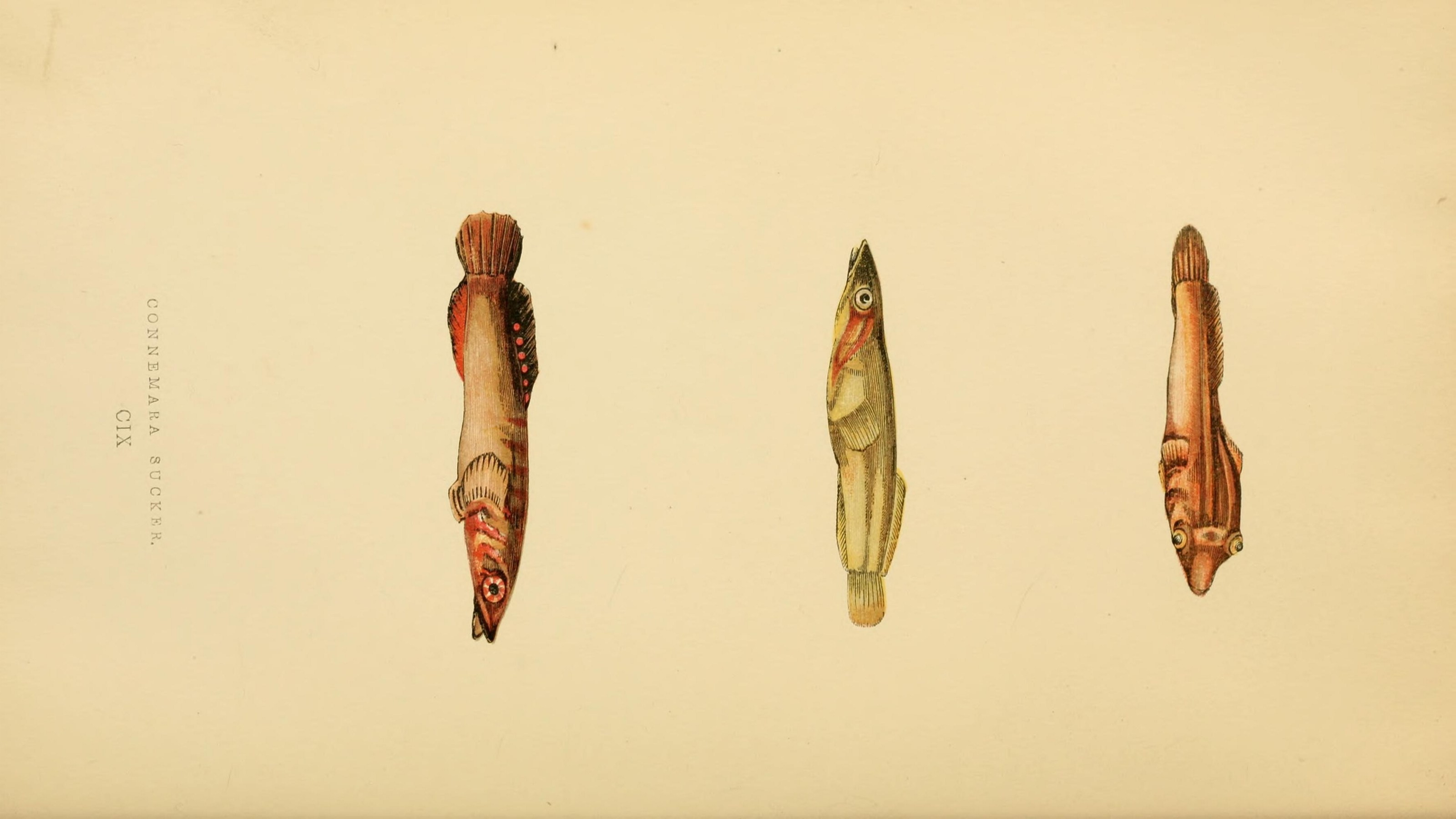 Image of <i>Lepadogaster candolii</i> Risso 1810