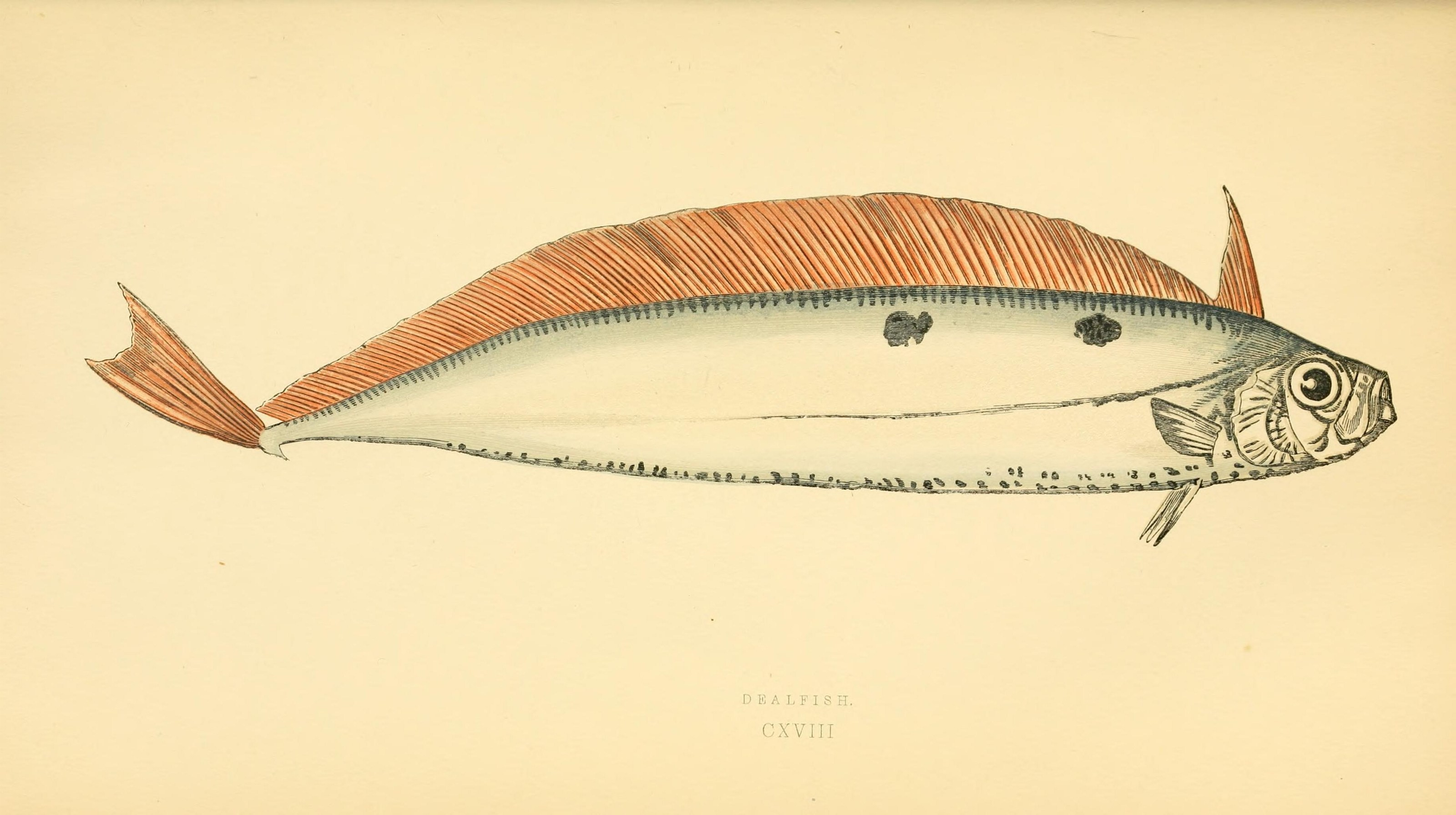Image of Deal fish