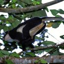 Image of North Sumatran Leaf Monkey