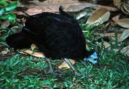 Image of Wattled Brush-turkey