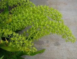 Image of <i>Grammatophyllum scriptum</i> (L.) Blume