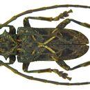 Image of <i>Phrynetopsis fuscicornis</i> (Chevrolat 1856)